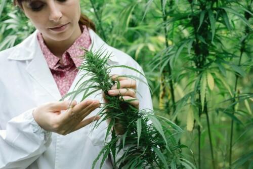 cannabis alternative medicine