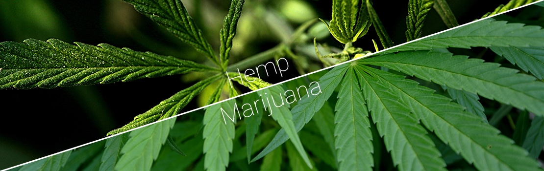 Hemp CBD vs. Cannabis CBD: What Are The Similarities and Differences?