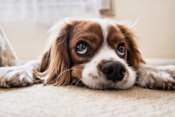 CBD For Dogs: Everything You Need To Know